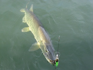 Musky picture taken by Tom Kostuch on Sept 24, 2012